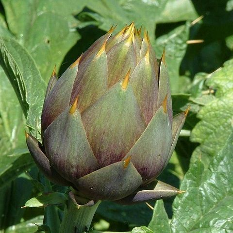 Purple artichokes bio