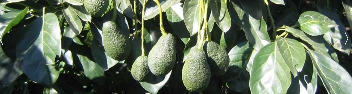 Sicily Avocado Farms soc.coop produttori ass.